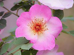 Rosa Canina Wikipedia