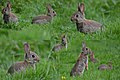 Hungry rabbits in all formats, springtime at Schaarsbergen Hoge Erf - panoramio.jpg