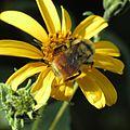 Hunt's Bumble Bee - Flickr - treegrow.jpg