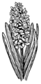Hyacinth (PSF).png