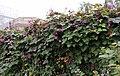 Hyacinth vine Lablab purpureus IMG 0654.jpg