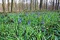 Hyacinthoides non-scripta - Brakelbos, Brakel 01.jpg