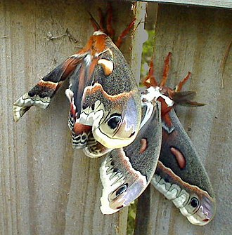 Hyalophora cecropia - A mated pair of cecropia moths. On the right is the male, with the larger, more feathery antennae used to locate the female via pheromones.
