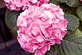 Hydrangea macrophylla 10zz.jpg