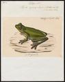 Hyla cyanea - 1700-1880 - Print - Iconographia Zoologica - Special Collections University of Amsterdam - UBA01 IZ11500121.tif