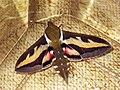 Hyles gallii - Bedstraw hawk-moth - Бражник подмаренниковый (41192997632).jpg