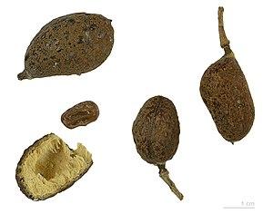 Hymenaea - Fruits and seeds of Hymenaea verrucosa- MHNT