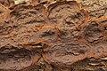 Hymenochaete rubiginosa (35628717914).jpg