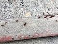 Hymenoptera - Pogonomyrmex barbatus - 3.jpg