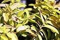 Hypericum calycinum Brigadoon 1zz.jpg