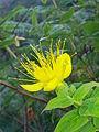 Hypericum hircinum Salina 448.jpg