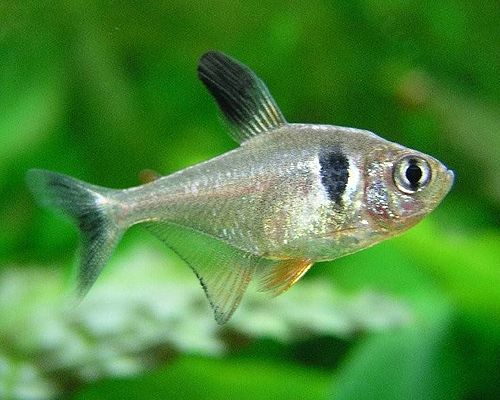 500px Hyphessobrycon megalopterus