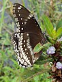 Hypolimnas bolina - Great Eggfly at Thillankeri 13.JPG