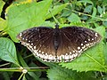Hypolimnas bolina Linnaeus, 1758 – Great Eggfly female at Periya (5).jpg