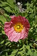 Iceland Poppy Papaver nudicaule 'Champagne Bubbles' Pink Top.jpg