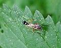 Ichneuman Wasp Sp. - Flickr - gailhampshire.jpg