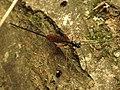 Ichneumon Wasp (34396554016).jpg