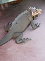 Iguana delicatissima at Batalie Beach a09.jpg