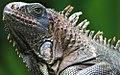 Iguana iguana 28zz.jpg