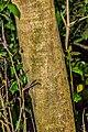 Ilex opaca in Hackfalls Arboretum (1).jpg
