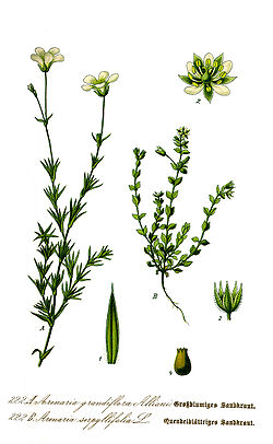 Illustration Arenaria serpyllifolia1.jpg