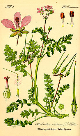 http://upload.wikimedia.org/wikipedia/commons/thumb/6/61/Illustration_Erodium_cicutarium0.jpg/275px-Illustration_Erodium_cicutarium0.jpg