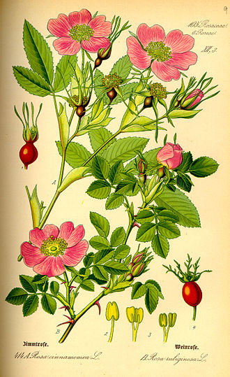 Rosales - Two rose plants, Rosa cinnamomea L. and R. rubiginosa L.
