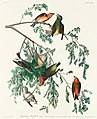 Illustration from Birds of America (1827) by John James Audubon, digitally enhanced by rawpixel-com 197.jpg