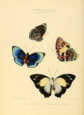 Illustrations of new species of exotic butterflies Agrias & Nymphalis.jpg