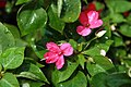 Impatiens wallerana Jellybean Rose 1zz.jpg