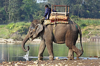 Elephas maximus indicus, in Chitwan National P...