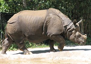 Odd-toed ungulate - Restriction of their habitat and poaching threaten the survival of most rhino species, including the Indian rhinoceros shown here.