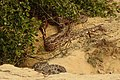Indian Rock Python Python molurus by Dr. Raju Kasambe DSCN2687 (20).jpg