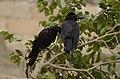 Indian jungle crow (Corvus culminatus) from Thiruppainjeeli JEG0206.jpg