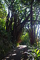 Indian rubber tree on Lugard Road.JPG