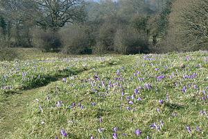 Inkpen - Crocus field in March