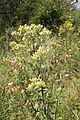 Inula conyza vallee-de-grace-amiens 80 05082007 2.jpg