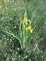 Iris pseudacorus sl2.jpg