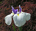 Iris spuria 'April's Birthday' Flower 2754px.jpg