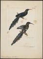 Irrisor erythrorhynchos - 1820-1860 - Print - Iconographia Zoologica - Special Collections University of Amsterdam - UBA01 IZ16100031.tif