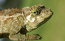Chameleon Trirohy Wikipedie