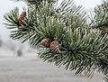 Jardín Botánico Olarizu - Pinus nigra - Hojas y piña 01.jpg