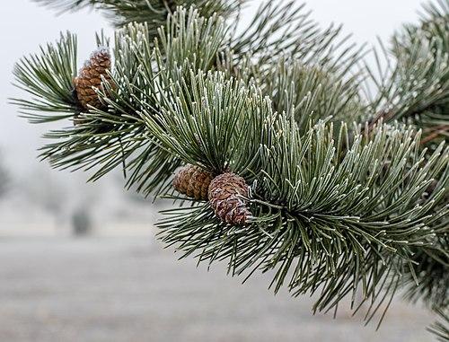 Inovaťou pokryté ihličie a šišky borovice čiernej (Pinus nigra)