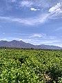 Jasmine field near Bhavanisagar.jpg