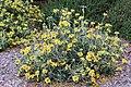 Jerusalem sage Phlomis fruticosa IMG 8637.jpg
