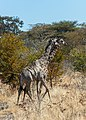 Jirafas (Giraffa camelopardalis), parque nacional de Chobe, Botsuana, 2018-07-28, DD 108.jpg