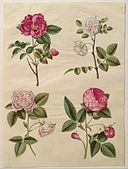 Johannes Simon Holtzbecher - Rosa gallica - Google Art Project.jpg