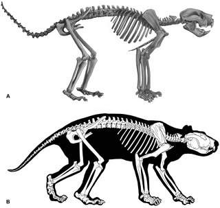 <i>Thylacoleo carnifex</i> species of mammal (fossil)