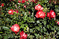 Joy Of Life Blooms (4493123358).jpg