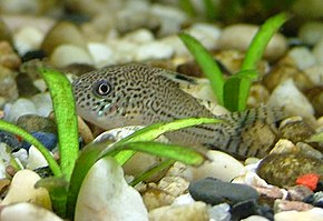 Description de l'image Juliipanzerwels (Corydoras Julii) im Aquarium.jpg.